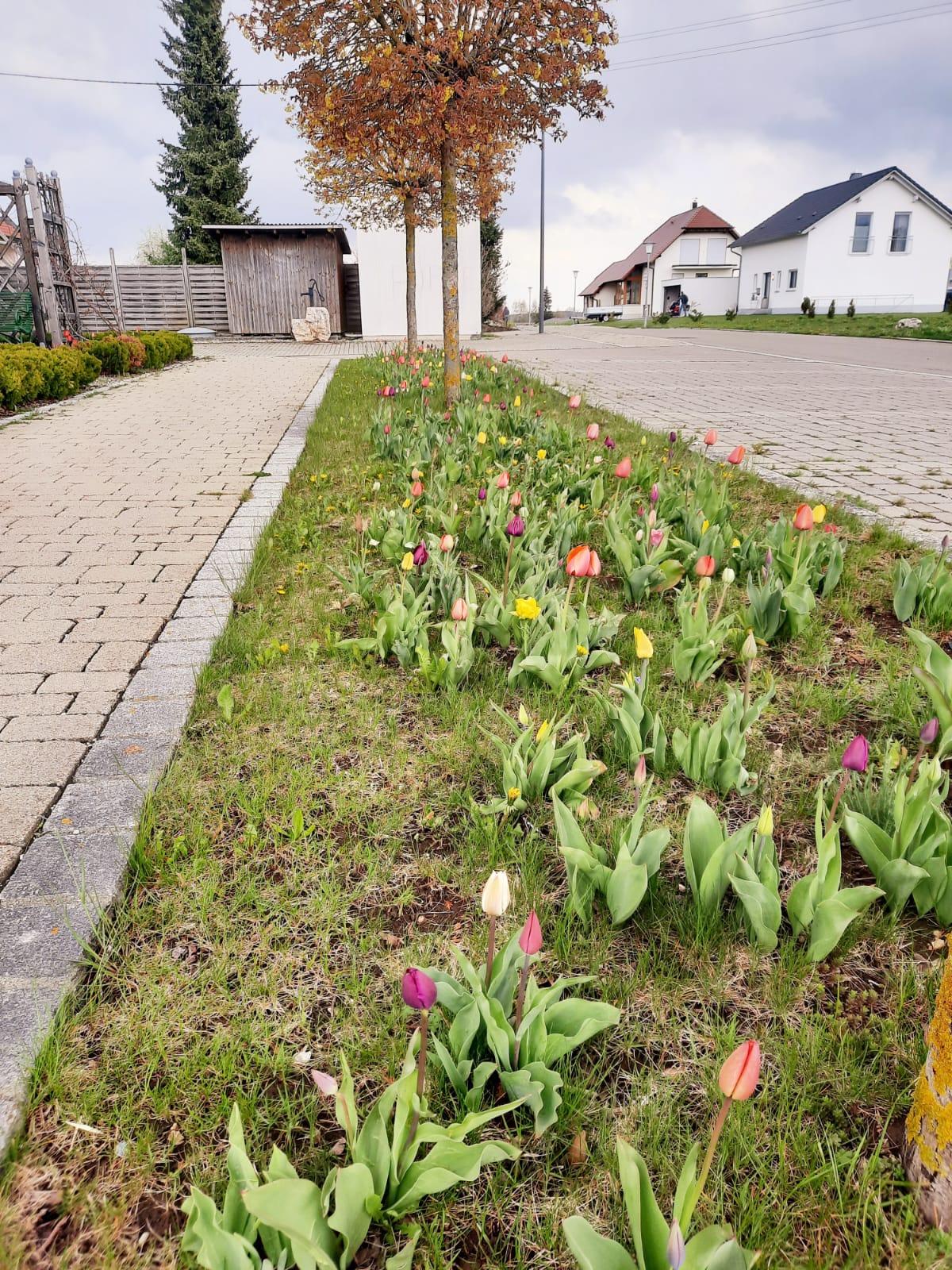 Tulpenbluete1